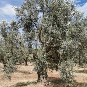 süden oliven